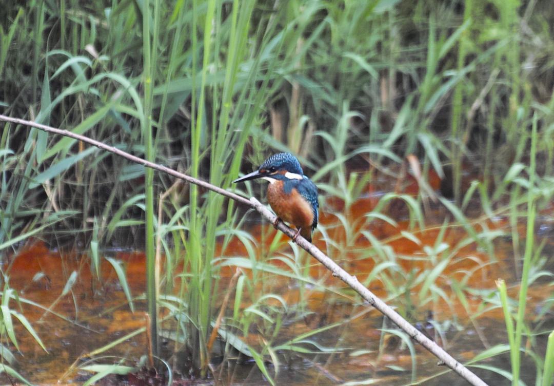 sd Quattro で野鳥撮影は楽しめないのか?いえいえ。~松戸市・21世紀の森公園でカワセミを楽しむ(後編)~_c0223825_12472707.jpg