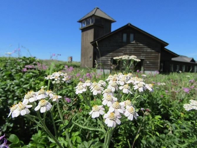 エゾノヨモギギクが咲きました!_f0354435_13552798.jpg