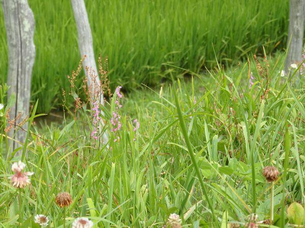 土手に咲くネジバナ~梅雨の晴れ間に彩りを探して~_b0206037_09165536.jpg