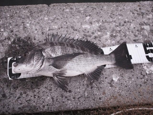 熊本県天草市倉岳町へ夕まずめのチヌ釣りに行く_a0278866_1292778.jpg