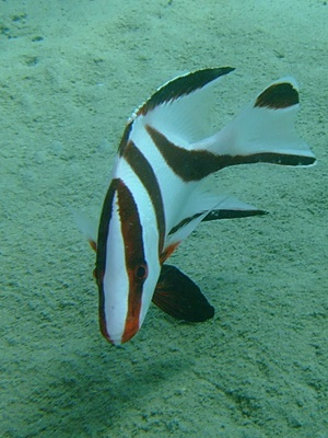 「センネンダイの幼魚」_b0033573_14301751.jpg