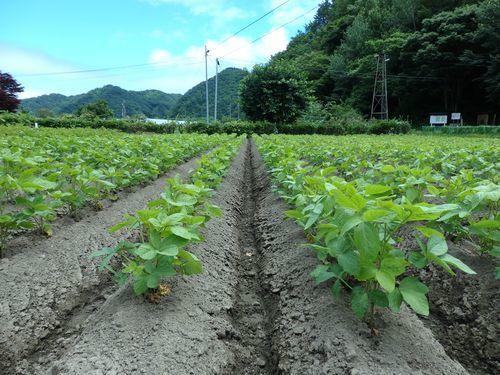 まめつぶ農園2016 Vol.10じゃが芋を収穫_b0206037_08424302.jpg