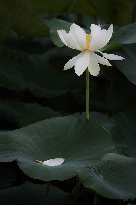 蓮の花_c0077395_1121925.jpg