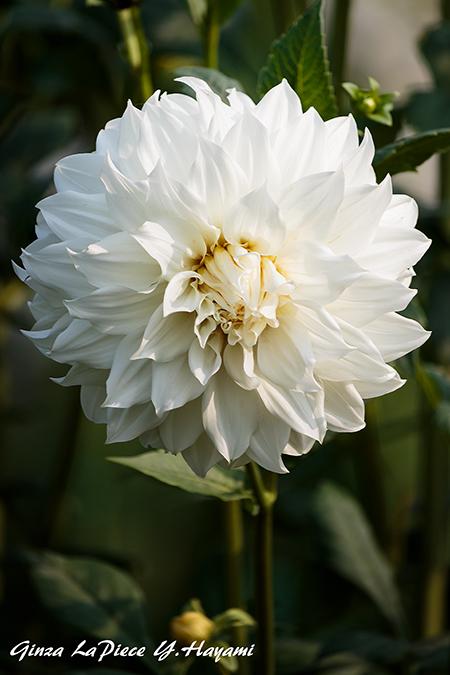 花のある風景 白のダリア_b0133053_0384250.jpg