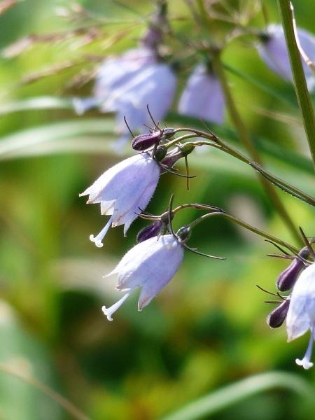花の名山 至仏山の高山植物_a0351368_22552415.jpg