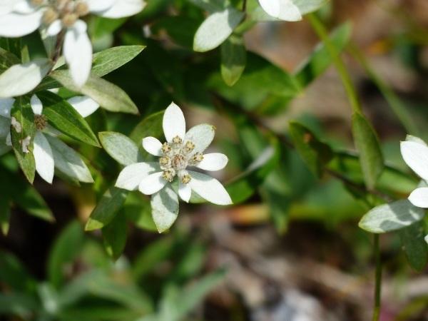 花の名山 至仏山の高山植物_a0351368_22594565.jpg