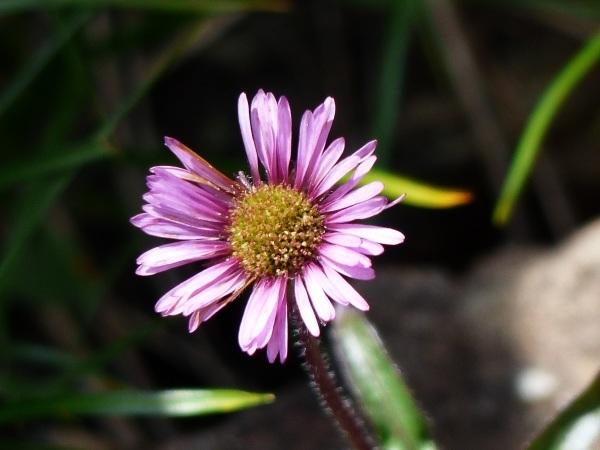 花の名山 至仏山の高山植物_a0351368_23043413.jpg