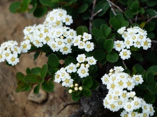 花の名山 至仏山の高山植物_a0351368_23062645.jpg