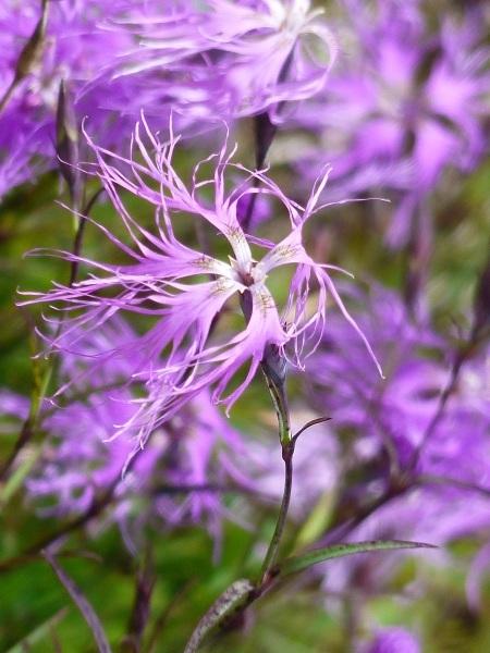 花の名山 至仏山の高山植物_a0351368_23094427.jpg