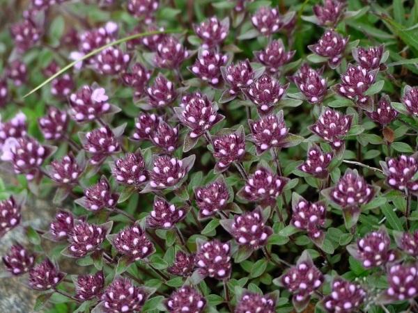 花の名山 至仏山の高山植物_a0351368_23110252.jpg