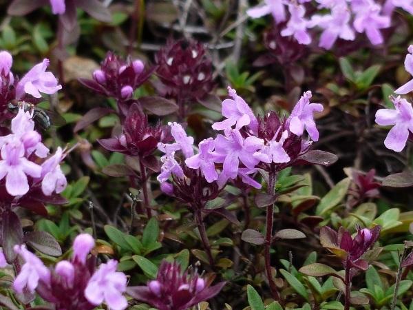 花の名山 至仏山の高山植物_a0351368_23155704.jpg