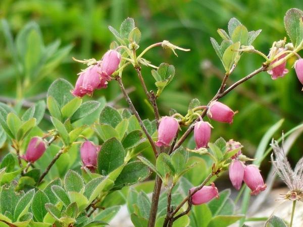 花の名山 至仏山の高山植物_a0351368_23300577.jpg