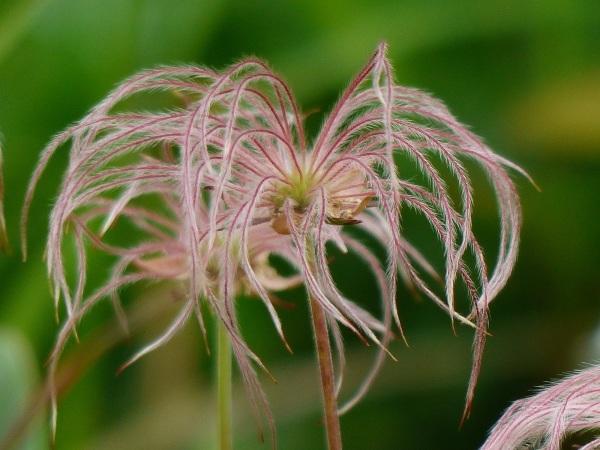 花の名山 至仏山の高山植物_a0351368_23314675.jpg