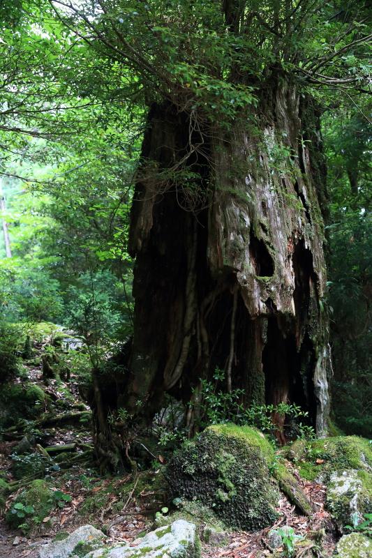 縄文杉 part.1_e0131279_20553217.jpg