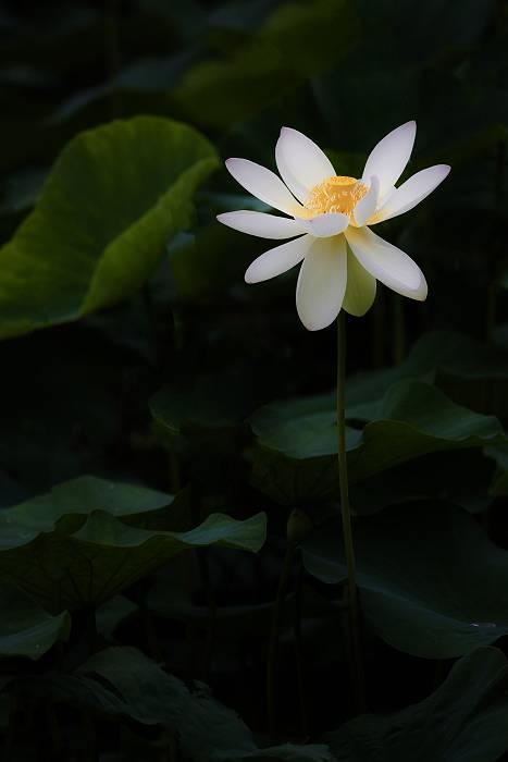 蓮の花_c0077395_5214795.jpg