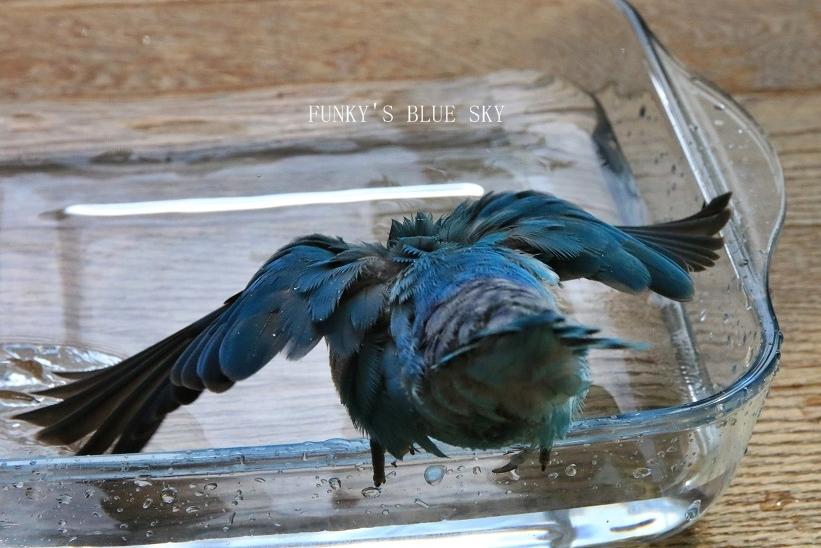 水浴びB.Bの記録 → (かわいいB.B動画×3・7月4日)_c0145250_11114736.jpg