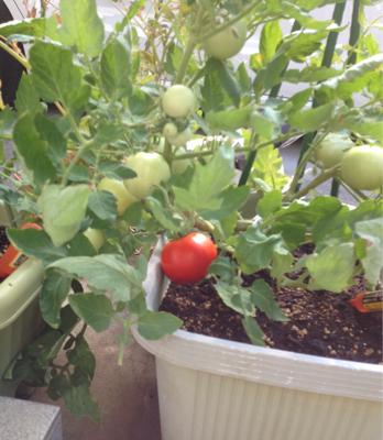 トマトの凛々子さん ③_e0012580_14184606.jpg