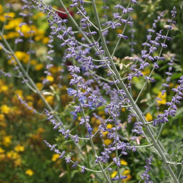 初夏から夏にかけてはハーブのお花の最盛期_a0292194_21343892.jpg