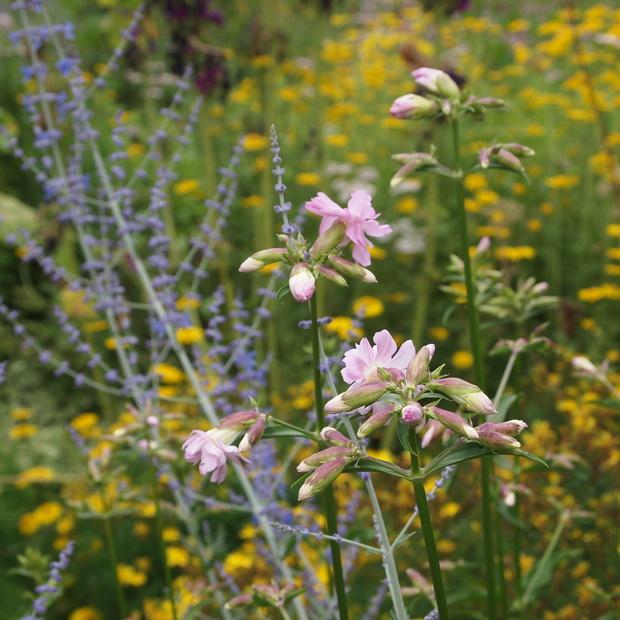 初夏から夏にかけてはハーブのお花の最盛期_a0292194_21353839.jpg