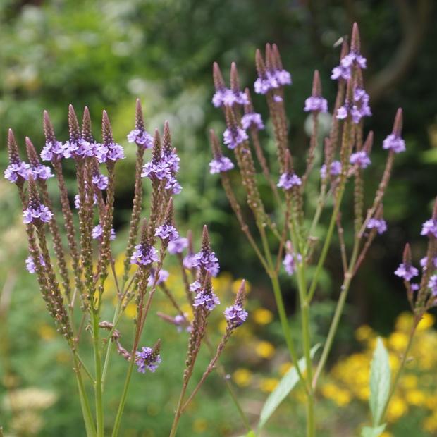 初夏から夏にかけてはハーブのお花の最盛期_a0292194_21371823.jpg