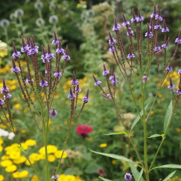 初夏から夏にかけてはハーブのお花の最盛期_a0292194_2139359.jpg