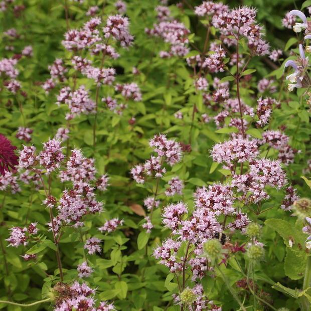 初夏から夏にかけてはハーブのお花の最盛期_a0292194_21393822.jpg