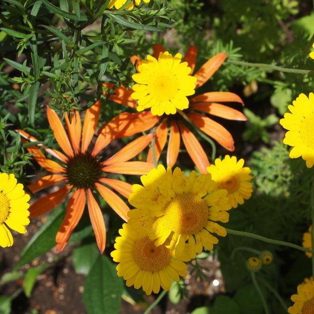 初夏から夏にかけてはハーブのお花の最盛期_a0292194_21465244.jpg