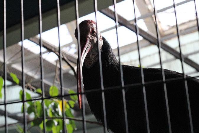 上野動物園:バードハウス~愛しのボウシゲラ_b0355317_18255241.jpg