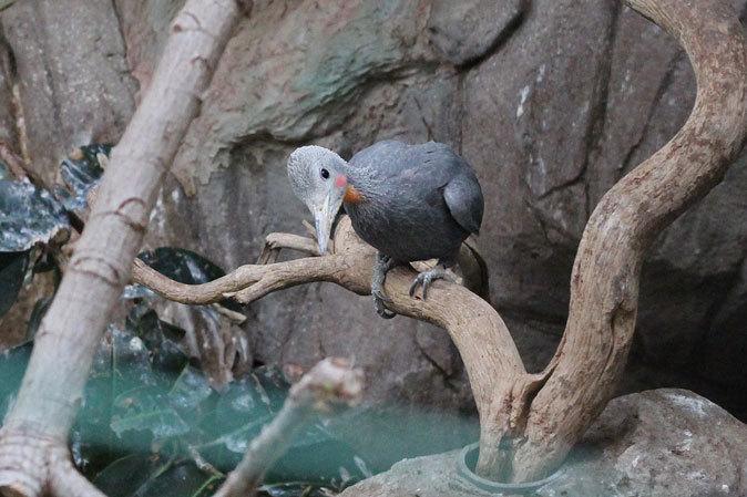上野動物園:バードハウス~愛しのボウシゲラ_b0355317_18282835.jpg