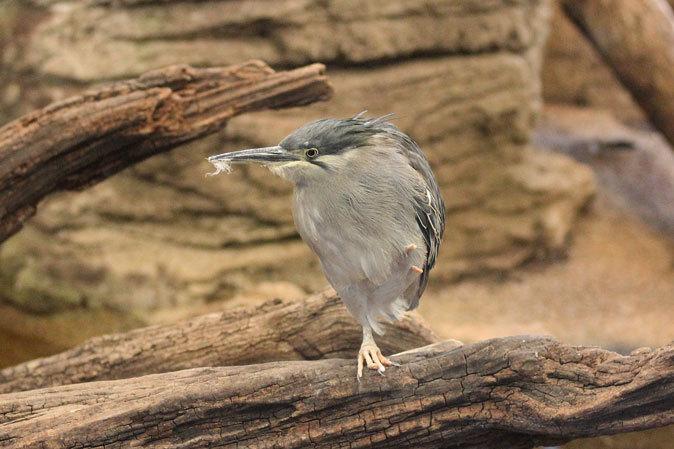 上野動物園:バードハウス~愛しのボウシゲラ_b0355317_18432328.jpg