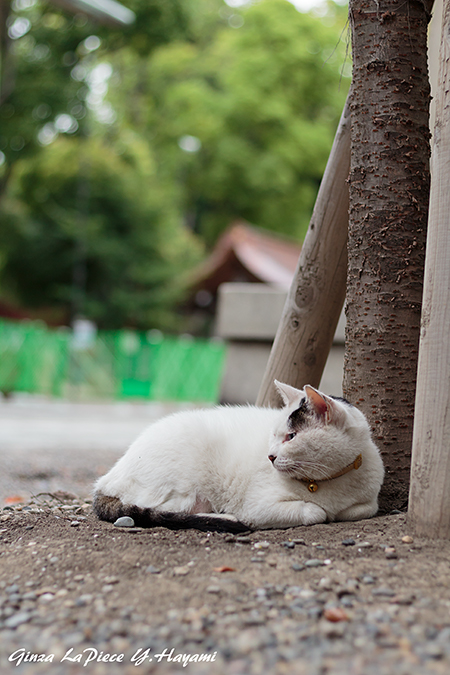 猫のいる風景 近所の黒白ちゃん_b0133053_0182972.jpg