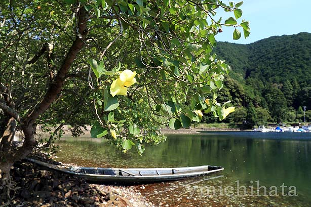 白石湖のハマボウ_b0186680_14264994.jpg