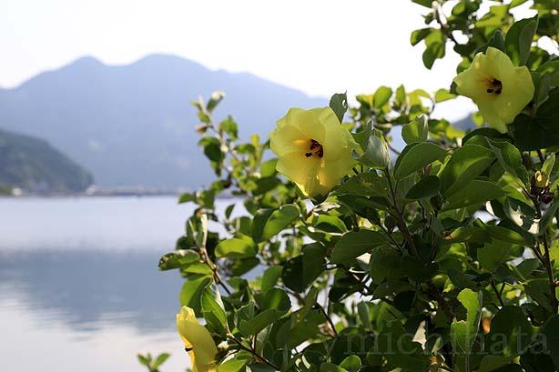 白石湖のハマボウ_b0186680_14265458.jpg