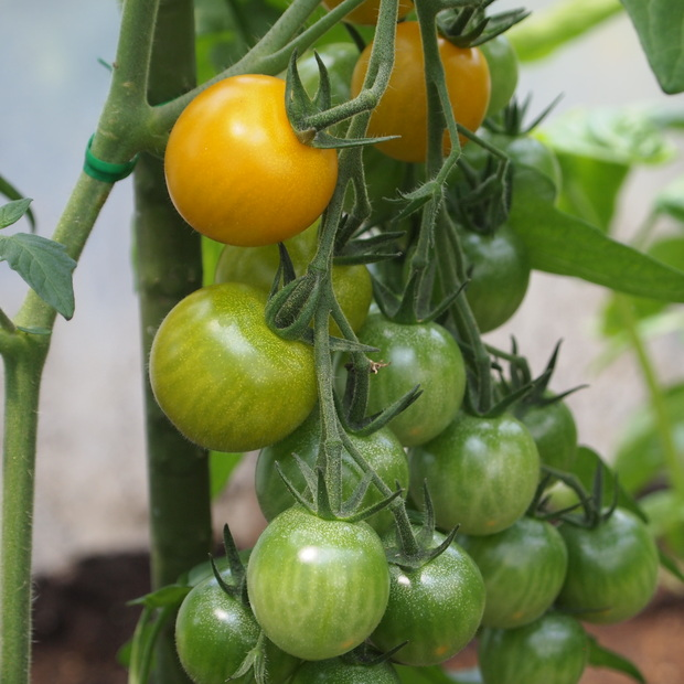 トマトの様子_a0292194_1503955.jpg