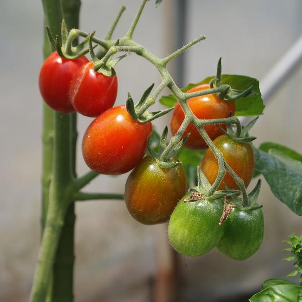 トマトの様子_a0292194_1505355.jpg