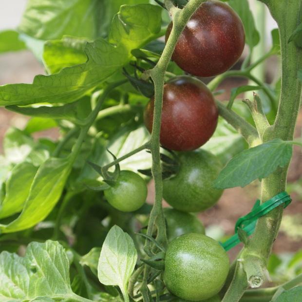 地中海トマトの様子_a0292194_15211358.jpg
