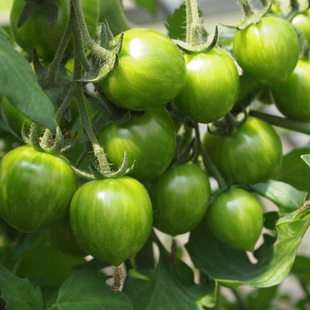 地中海トマトの様子_a0292194_15214993.jpg