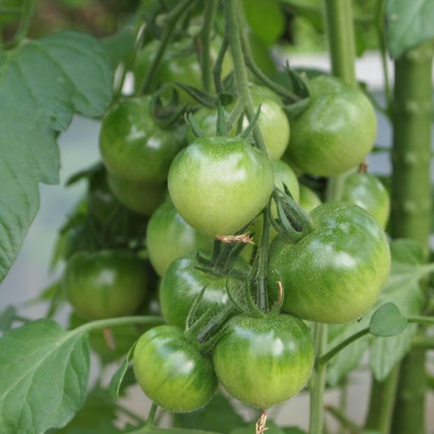 トマトの様子_a0292194_1624638.jpg