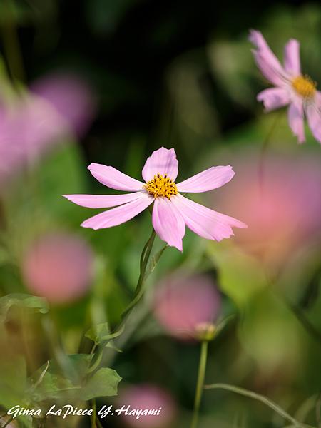 花のある風景 淡いピンクの花_b0133053_0535270.jpg