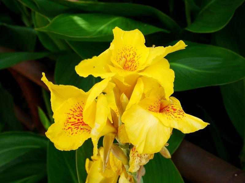 モミジアオイと黄色いカンナ_b0093754_23302471.jpg