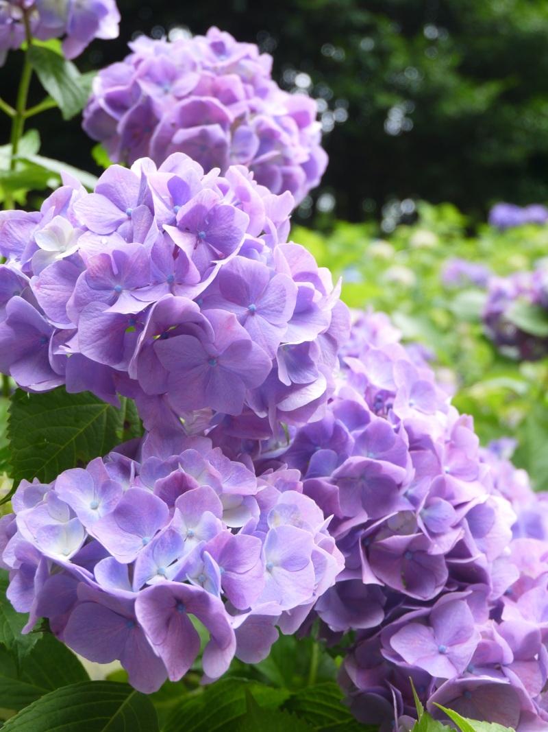 森の中で紫陽花_f0361692_11341347.jpg