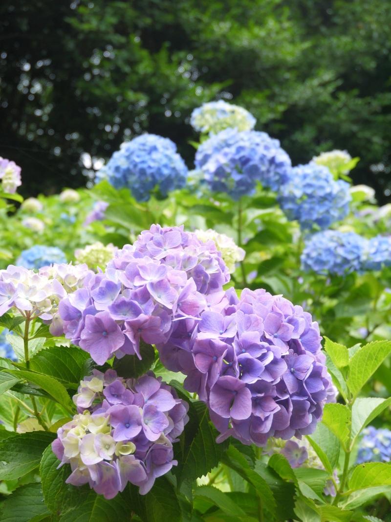 森の中で紫陽花_f0361692_11341401.jpg