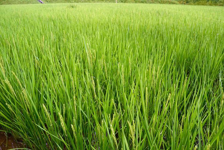 稲の出穂_d0231263_22165360.jpg