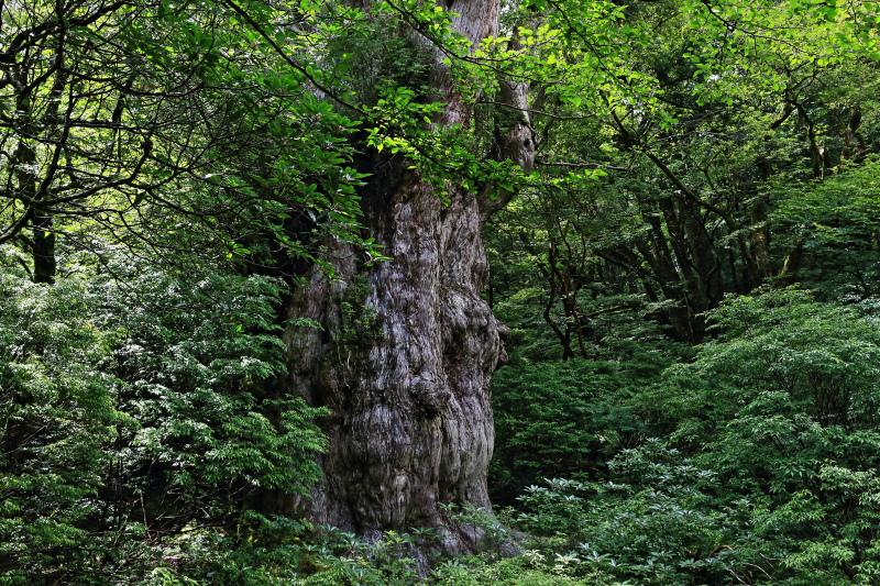 縄文杉 part.4_e0131279_1947210.jpg