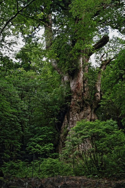 縄文杉 part.4_e0131279_20212272.jpg