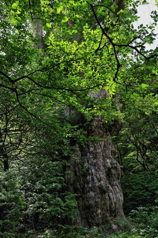 縄文杉 part.4_e0131279_20214394.jpg