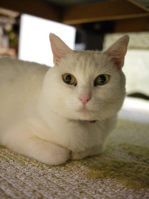 猫のお留守番 ゆきちゃんゆめくんあられくん編。_a0143140_22264837.jpg