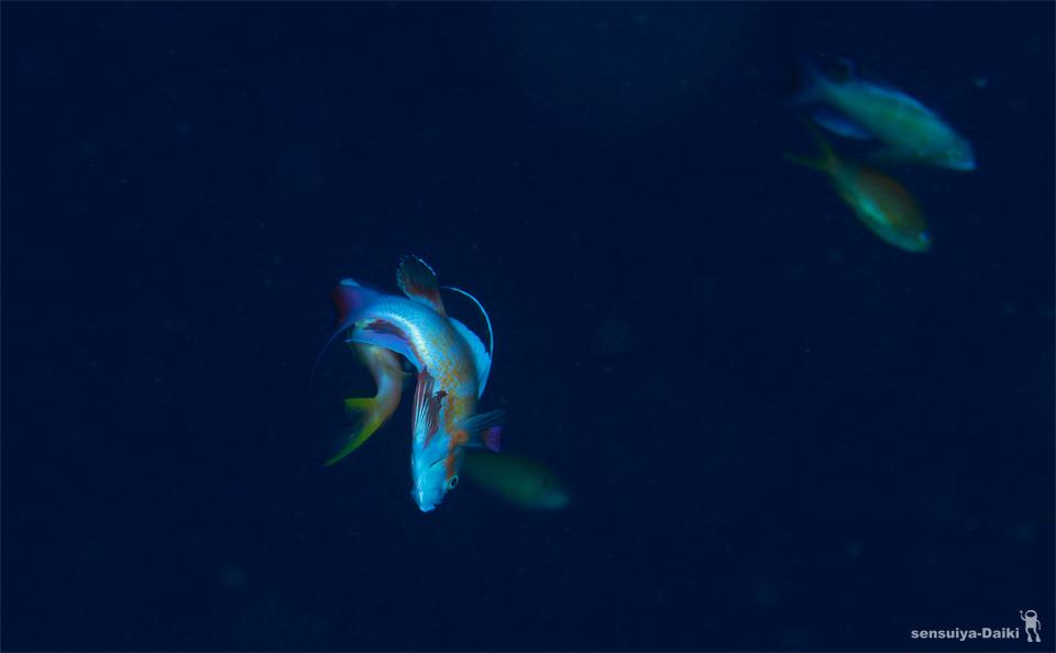 サンゴ産卵ウィークのご案内☆_e0158261_6304357.jpg