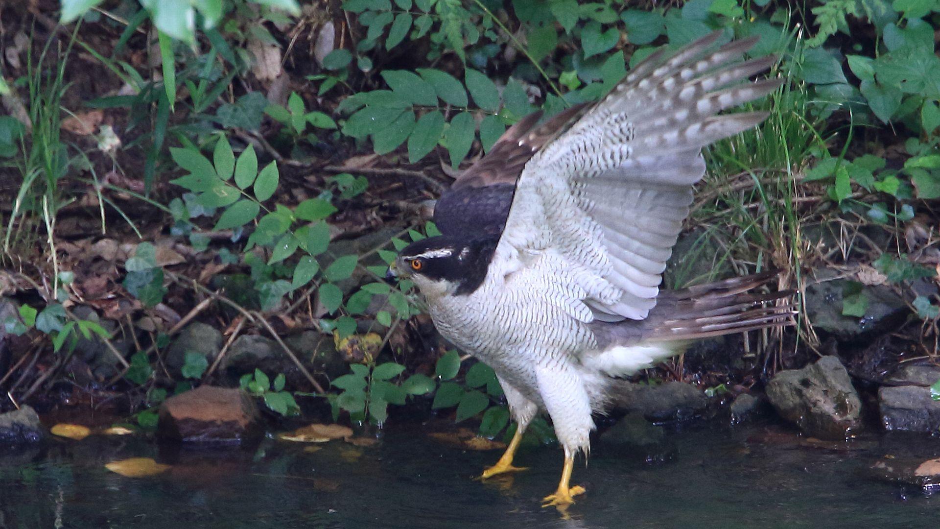 美しいオオタカ雄成鳥_f0105570_2281637.jpg