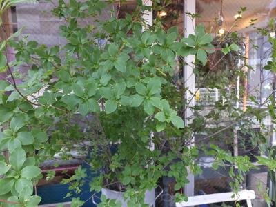 オークリーフ(白いねむの木)_f0049672_1743363.jpg